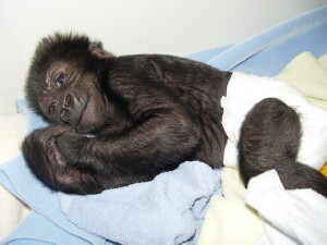 This is the best Baby Western Lowland Gorilla picture I have ever taken