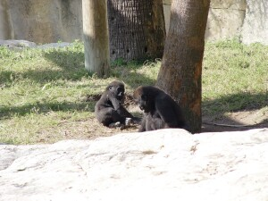 Asha and Pelly - Western Lowland Gorillas