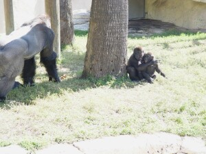 Pelly and Asha look at their Dad, Moja - Western Lowland Gorillas